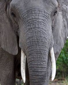 What exactly is this elephant thinking? What thoughts run through her head all day? How does she see the world and interpret it? We ask ourselves these questions all the time, and they're what drive us to understand them through our research in elephant cognition!