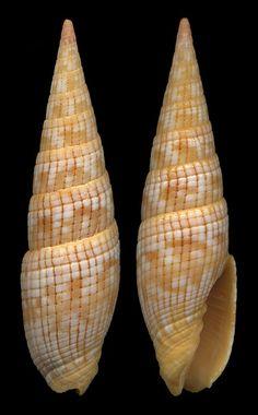 Vexillum costatum Gmelin, 1791- Filippine by giubit, via Flickr
