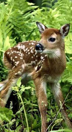 Newborn Chital Deer (Spotted Deer)