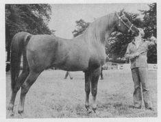 ACHIM (Noran x Tehoura, by Radi) 1961 chestnut stallion