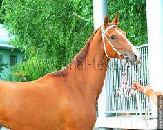 Akhal-teke horses for sale - Adavia(Dagomys 9 - Arafat-Gubden)