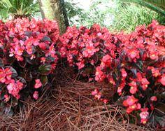 PLANTS THAT LOVE PINE NEEDLE STRAW pine needle mulch