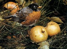 Carl Brenders 'The Apple Lover' 1989 [Belgium naturalist and painter. born probably Gouache painting This is a copyrighted work for educational purposes only. Wildlife Paintings, Wildlife Art, Bird Paintings, Realistic Paintings, Original Paintings, Gouache Painting, Painting & Drawing, Autumn Garden, Art Studies