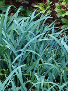 blue/ silver for shade? Carex flaccosperma --- Blue Wood Sedge is a handsome grass for edging or filling in. Great with silver or purple foliage plants. Tolerates full shade, damp, or clay soil. Ornamental Grass Landscape, Ornamental Grasses, Shade Garden, Garden Plants, Begonia, Heuchera, Blue Wood, Just Dream, Foliage Plants
