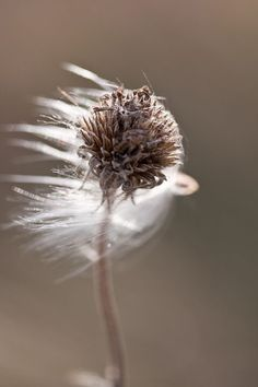 The wind blows away the seeds of the dandelion, just blow away a person's stain and bring the Holy Spirit Blowin' In The Wind, Fotografia Macro, All Nature, Amazing Nature, Foto Art, Jolie Photo, Seed Pods, Samhain, Macro Photography