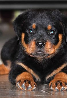 What a gorgeous little rottweiler puppy!   www.bullymake.com
