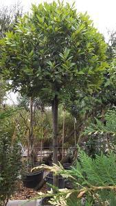 Bay Tree Lollipops - Beautiful selection of Topiary Bay Trees in Lollipop shapes. Buy Online, get UK wide delivery Laurus Nobilis, London Garden, Thing 1, Topiary Trees, Bay Trees, Ancient Art, Terracotta, Evergreen, Shrubs