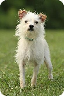 Adopted  Knoxville, TN - Terrier (Unknown Type, Small) Mix. Meet Bumble a Dog for Adoption.