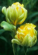 Paeony Tulip - An exotic green and gold protea from some trendy SoHo floral designer? No, but that's what this 300-year-old double tulip looks like when it first starts to open — and no modern tulip looks anything like it! For a close-up view of its weird beauty, simply click on our small photo. Now imagine it in a vase where you can watch it day by day as it slowly matures from a chartreuse symphony into a peony-like blossom of gold brushed with red. Wow!