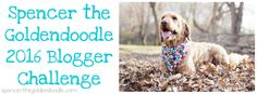 Spencer the Goldendoodle is participating in Go Pet Friendly's The 2016 Pet Blogger Challenge. This is his first time participating in this challenge and had a blast. It was a wonderful opportunity to see how much this blog has grown over the last twelve months, as well as, where he see this blog going in the next twelve months.