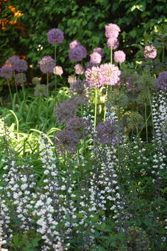 Purple Allium and White False Indigo - both native and reliable spring perennials.  Allium needs full sun.