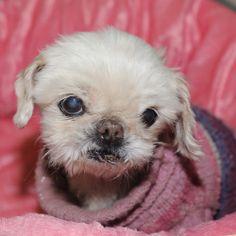 Mandy a Pekinese/Chihuahua Mix adoptable dog in NC