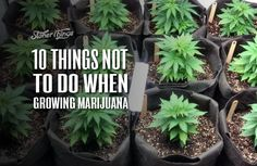 Here are 10 common mistakes to avoid when growing marijuana. Some of these are unavoidable for novice growers Cannabis Cultivation, Cannabis Edibles, Marijuana Plants, Cannabis Plant, Growing Weed, Growing Greens, Growing Herbs, Marijuana Recipes