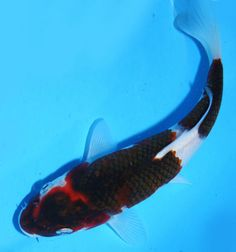 Live koi fish 13 14 gin rin kohaku koibay koi fish for Ornamental pond fish for sale