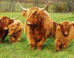 Highland Cattle (Highland Coos) stunning  creatures.
