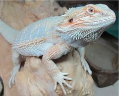 I love this guy! Beautiful Hypo Pastel Bearded Dragon!