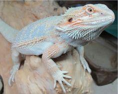 I love this guy! Beautiful Hypo Pastel Bearded Dragon!