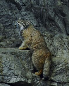 Climbing Pallas Cat