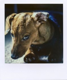 """Inconsolable"" doxie Polaroid by Patrick J. Clarke - love this dog!"