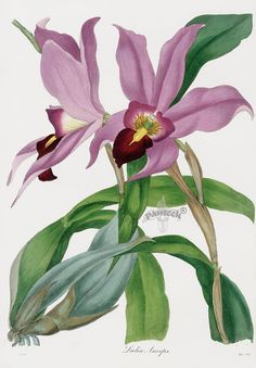 Joseph Paxton Orchid Prints 1834