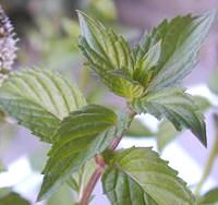 Menta - Mentha x piperita Peppermint Patties, Peppermint Oil, Seasonal Allergies, Herb Pots, Natural Cures, Natural Treatments, Natural Healing, Plant Sale, Growing Herbs