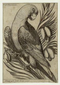 #Perroquet par Jacques Fornazeris, graveur français. Il pratique son #art à #Lyon de 1600 à 1619 (gravure, dessin et édition). Il contribue à généraliser la technique du burin pour des #estampes destinées à l'illustration de #livres et favorise la technique de la #gravure sur cuivre. Ses gravures, délicates évoquent tout à la fois l'orfévrerie, la broderie et l'enluminure #numelyo #volatile #bestiaire Lyon, Illustration, Painting, Art, Etchings, Prints, Illuminated Manuscript, Copper, Custom In