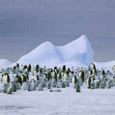 Emperor Penguins,  Snow Hill Island, Antarctica, 2008