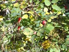 Wild strawberries although small and hard to find these berries are well worth the search - Rosehip syrup health benefits ...