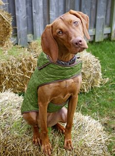 Beautiful Vizsla and cute jacket!