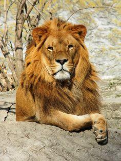 lovenature:    Lion byxhellmix