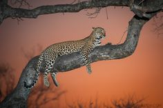 """Sunset Leopardess"" Sabi Sands Game Reserve, South Africa"