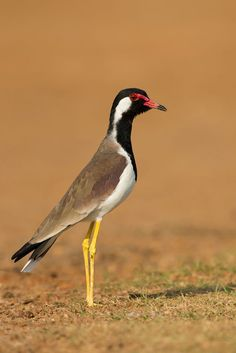 Red-wattled Lapwing by Milan Zygmunt on 500px