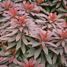 Euphorbia amygdaloides 'Ruby Glow' plants from Thompson & Morgan - experts in the garden since 1855 Cottage Garden Plants, Pink Garden, Succulents Garden, Planting Flowers, Plants For Small Gardens, Large Plants, Euphorbia Plant, Biennial Plants, Florida Plants