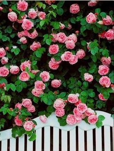 Flower Seeds Pink Climbing Roses Seeds 100 Seeds by Flowerseeds, $4.74 USD