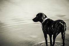 Pet portraits.  Black and white. Ripples in the water.  Kerr Scott Dam and Reservoir. Wilkesboro North Carolina