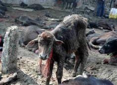 End Gadhimai: The World's Largest Animal Sacrifice    http://forcechange.com/59185/end-gadhimai-the-worlds-largest-animal-sacrifice/?fb_ref=.UVShlt_NOw4.send_source=message#gf_1