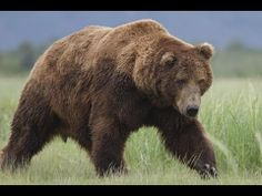 Documentary ►► Bears Full Movie Online HD