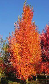 quercus crimson spire - Google Search