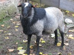 Romanov is a breed of domestic sheep originating from the Upper Volga region in Russia.