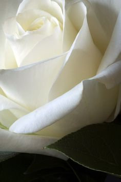 White Rose...my wedding flower, all my anniversary flowers since...Love the White Rose~