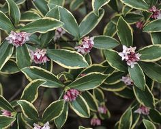 Daphne aureomarginata 4 feet very early spring blooms. Plant near hydrangeas.