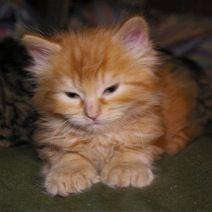 Snoshoo  Cat | Pawshake