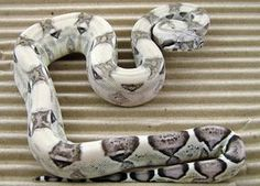 The collection of boa constrictors at Blumen Boas. Adult and sub-adult boa constrictors that we have at Blumen Boas. Cute Reptiles, Reptiles And Amphibians, Mammals, Boa Constrictor, Pretty Snakes, Beautiful Snakes, Python Royal, Red Tail Boa, Animals And Pets