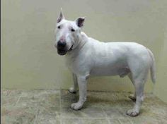 TO BE DESTROYED - 4/05/14 Brooklyn Center   My name is BOW. My Animal ID # is A0995068. I am a neutered male white and brown bull terrier. The shelter thinks I am about 5 YEARS old.  I came in the shelter as a STRAY on 03/28/2014 from NY 11215, owner surrender reason stated was STRAY. https://www.facebook.com/photo.php?fbid=779428278736720&set=a.611290788883804.1073741851.152876678058553&type=3&theater