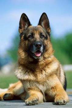 german shepherd dog ~ what a beautiful pup, would love to have you here with me.