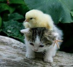 hiyoko on kitty.