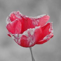 #flower #papavero #red #grey #rosso #fiore