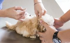 First-Year Puppy Vaccinations; A Complete Guide – American Kennel Club #dog #health, #tick, #video, #akc #video, #all #parasites, #flea #and #tick, #diseases, #puppy #information, #preparing #for #puppy, #family #dog http://rwanda.nef2.com/first-year-puppy-vaccinations-a-complete-guide-american-kennel-club-dog-health-tick-video-akc-video-all-parasites-flea-and-tick-diseases-puppy-information-preparing-for-pup/  # First-Year Puppy Vaccinations; A Complete Guide Which Vaccinations Do Puppies…
