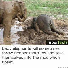 Funny animal captions - part 16 pics) Elephant Quotes, Funny Elephant, Asian Elephant, Elephant Love, Baby Elephants, Gym Memes, Gym Humor, Workout Humor, Running Humor