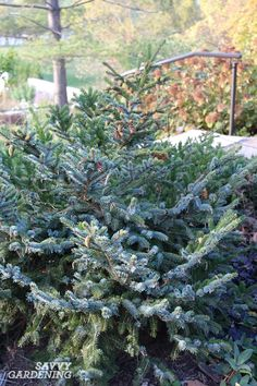 Dwarf Evergreen Trees: 15 Exceptional Choices for the Yard and Garden Evergreen Trees Landscaping, Dwarf Evergreen Trees, Evergreen Garden, Landscaping Retaining Walls, Hillside Landscaping, Landscaping Plants, Front Yard Landscaping, Hedge Trees, Trees And Shrubs